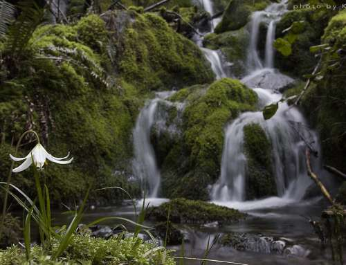 Hidden Waterfalls and a Lily